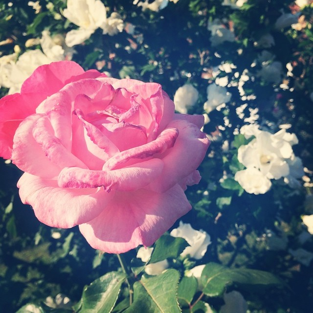 I love grandmas garden, just makes me feel content! Happy! Reminds me of happy memories with Grandad. #garden #memories #rose #pretty