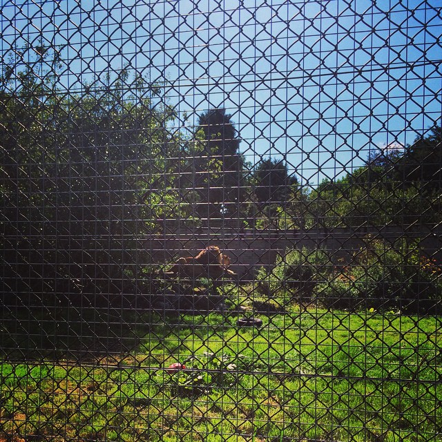 Favourite part of the day: sitting watching Rizi and Karla in the sunlight #lintonzoo #lions #amazing #biggestlioninbritain
