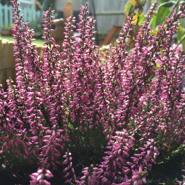 Love this stuff growing in my garden, I have no idea what it's called though. #colour #garden #constantgarden #purple #shrub #nofilter #sunset