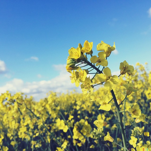 A sure sign Spring is here and Summer is close... #rapeseed #fields #yellow #flowers #colourfullandscape #happy ?