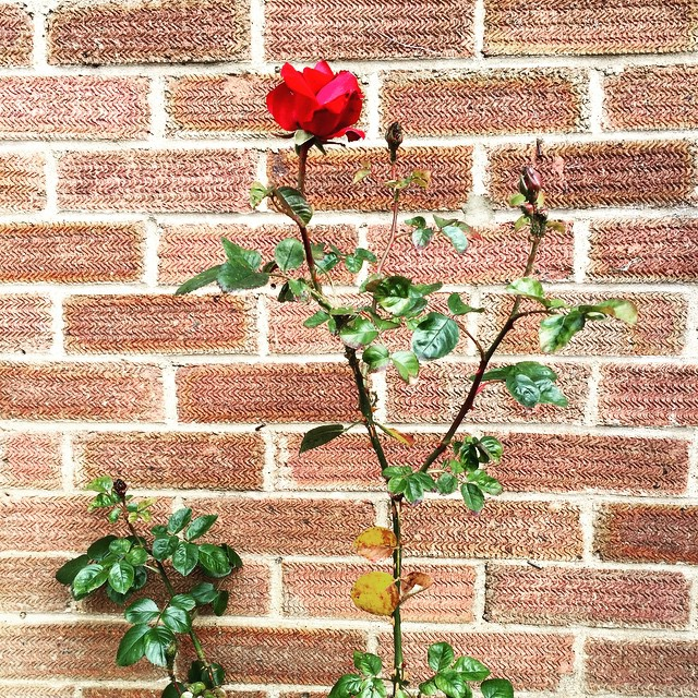 Three days on and it's looking beautiful. Wonderful red roses are blooming, making me smile ?#roses #red #garden #flower #homegrown #firstbloom #beautiful #fresh