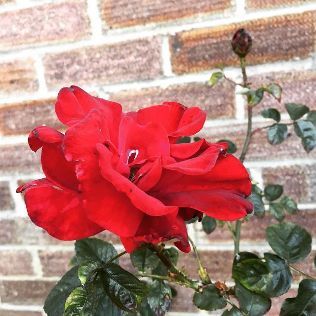 Ah love! #red #rose #first #bloom #pretty #frontgarden #flower #garden #happy